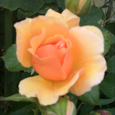 Roseのユーザーアイコン