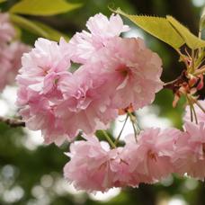 美桜のユーザーアイコン