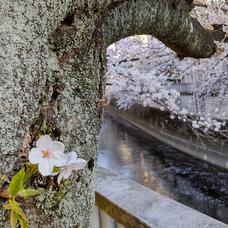 染井吉野桜のユーザーアイコン