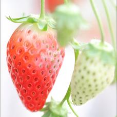苺のユーザーアイコン