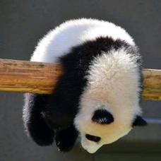 高科 パンダのユーザーアイコン