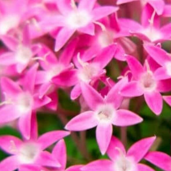 ジャンガリー  9月16日の誕生花はペンタスです🌺のユーザーアイコン
