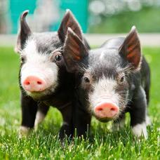 黒豚ゆきちのユーザーアイコン