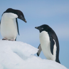 アデリーペンギンのユーザーアイコン