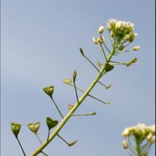 ぺんぺん草のユーザーアイコン