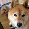 柴犬のユーザーアイコン