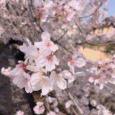 桜〜SaKuRa〜のユーザーアイコン