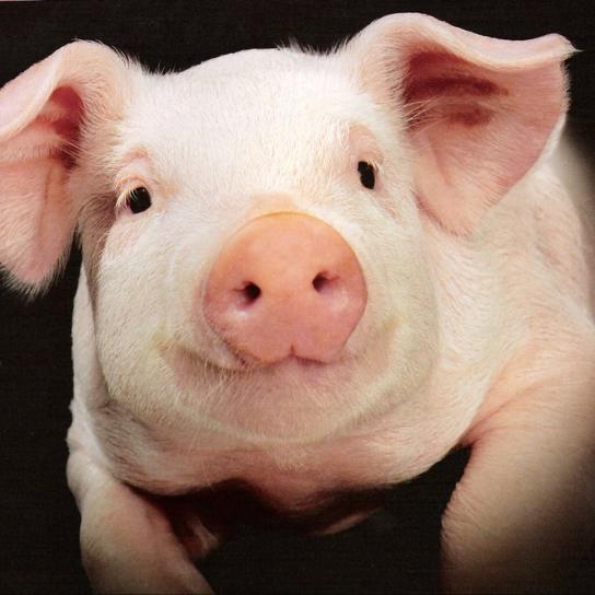 豚面のユーザーアイコン