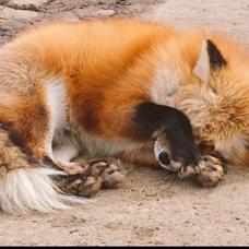 お狐様きょうコンのユーザーアイコン