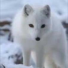 白狐のユーザーアイコン