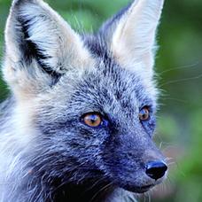銀狐(Ginko)のユーザーアイコン