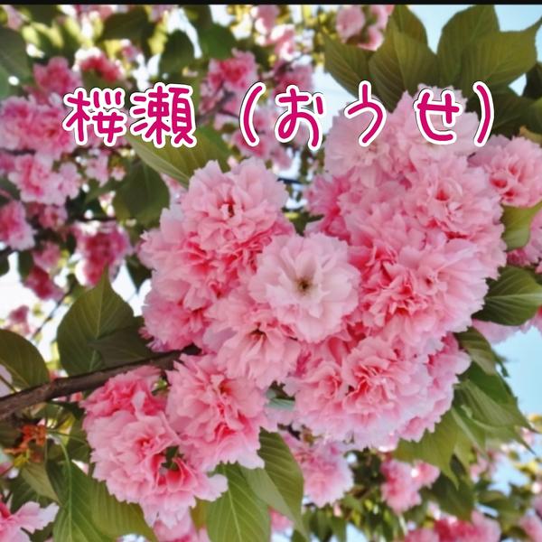 桜瀬(おうせ)※プロフ参照※のユーザーアイコン