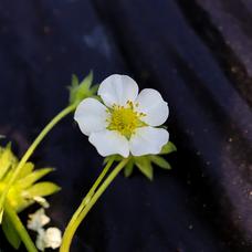 いちごの花のユーザーアイコン