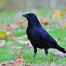 鴉のユーザーアイコン