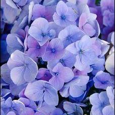 紫陽花@自由気ままに歌うのユーザーアイコン