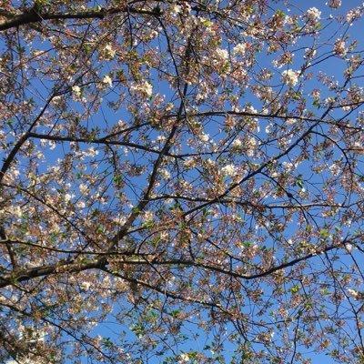 葉桜のユーザーアイコン