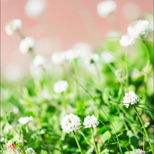 白詰草のユーザーアイコン