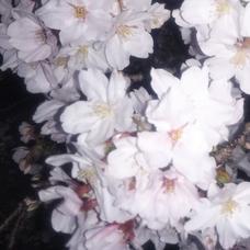 ゆめ✨ヘッダーは夕方の桜、アイコンは夜桜です✨のユーザーアイコン