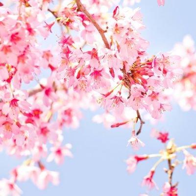 桜花のユーザーアイコン