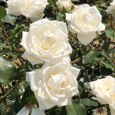 White Roseのユーザーアイコン