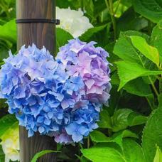 脱力Singer紫陽花のユーザーアイコン