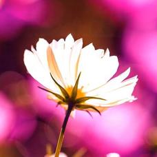 秋桜のユーザーアイコン