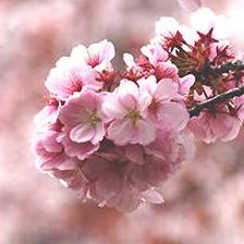 春桜のユーザーアイコン