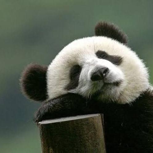パンダちゃんのユーザーアイコン